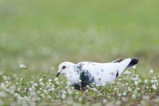 Leucistic Rock Pigeon