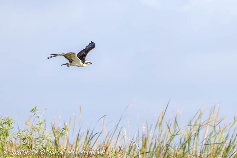 Osprey Flying over the Marsh