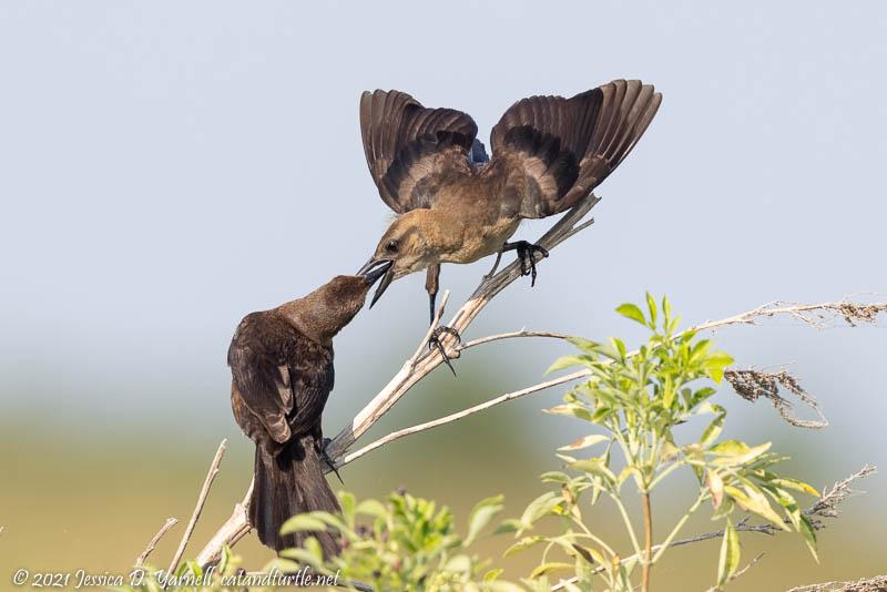 Boat-tailed Grackle Feeding Juvenile