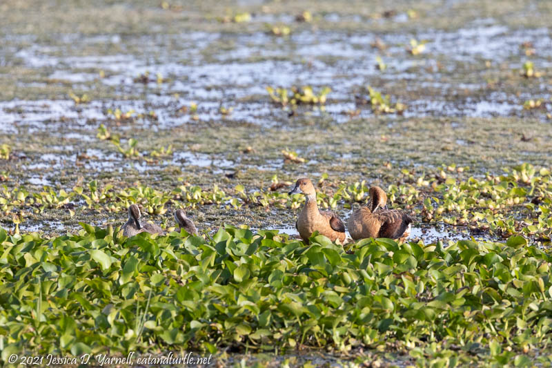 Fulvuous Whistling-ducks with Babies