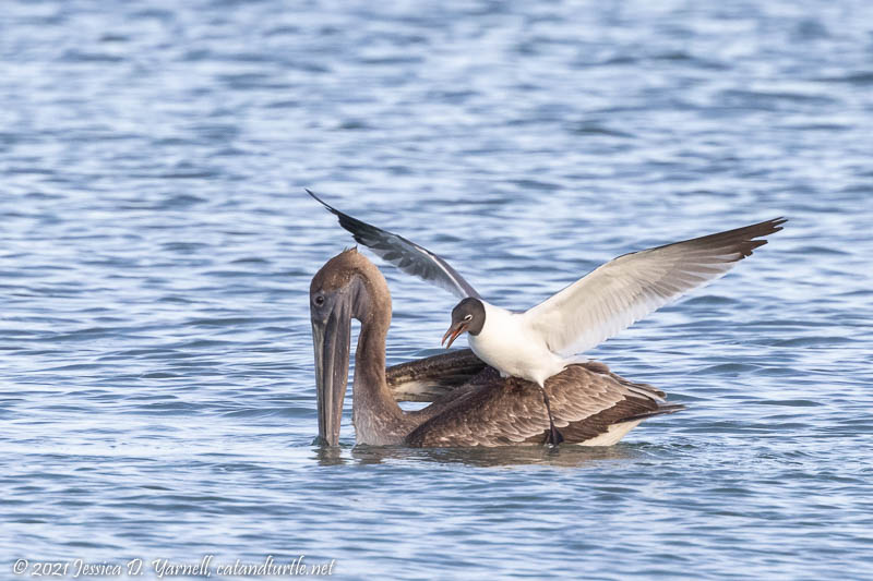 Laughing Gull Landed on Pelican's Back