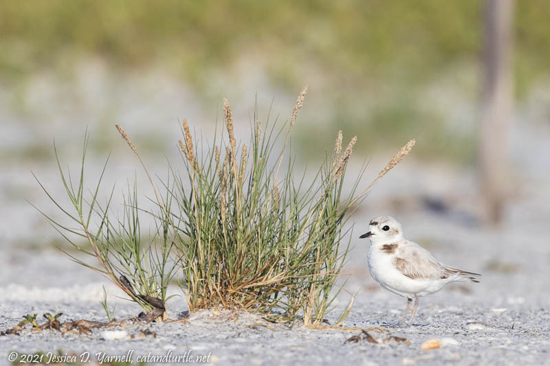 Snowy Plover (Adult Female)