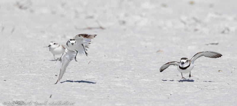 Snowy and Wilson's Plover Territory Dispute