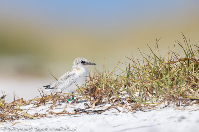 """Banded Least Tern """"Tribble"""""""