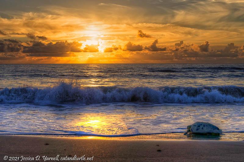 Return to the Sea - Loggerhead Turtle