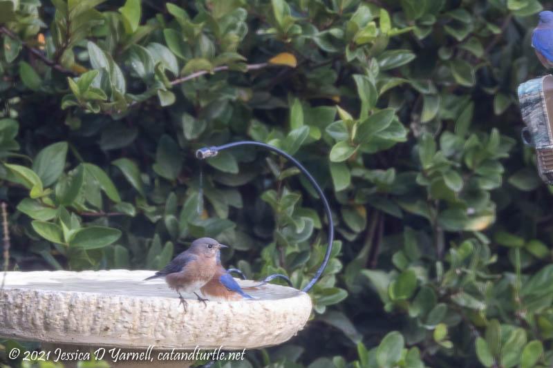 Eastern Bluebirds at Birdbath