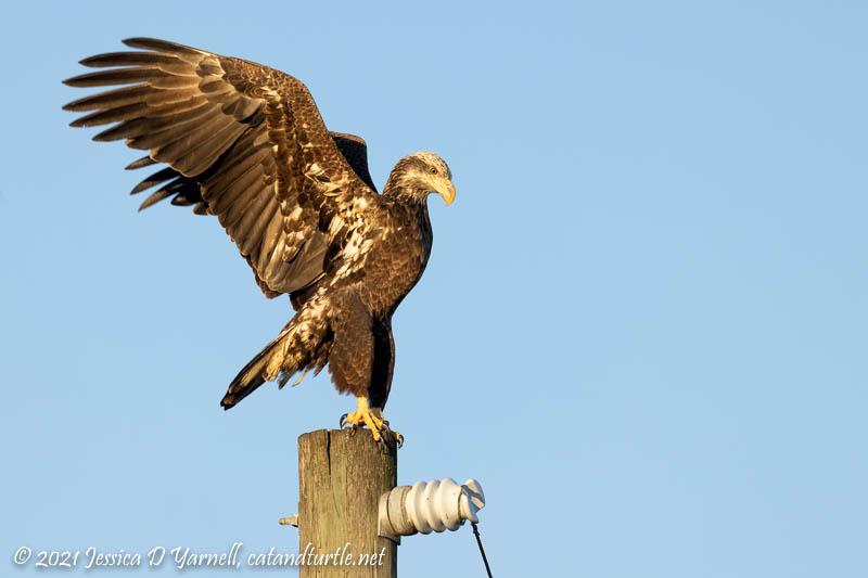 Juvenile Bald Eagle (3rd Year)