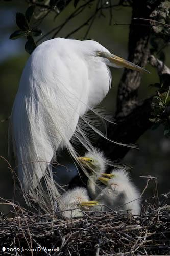 Great Egret Mommy and Babies