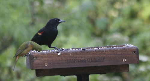 Red-wing blackbird and bunting