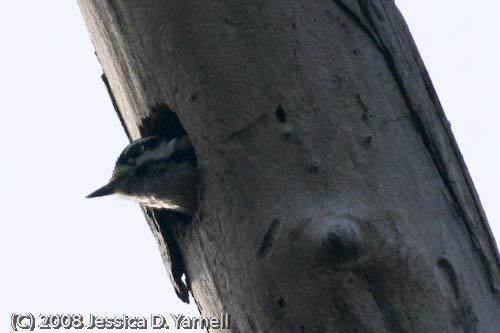 Downy Woodpecker (Peek-a-boo!)