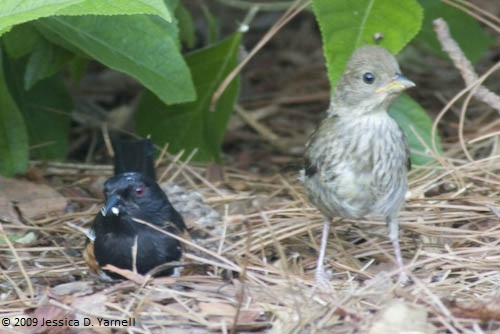 Eastern Towhee Daddy and Baby