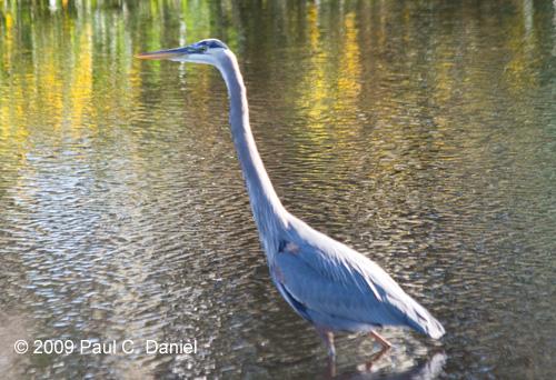 Great Blue Heron, Circle B Bar Reserve