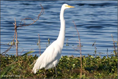 Great Egret, Circle B Bar Reserve