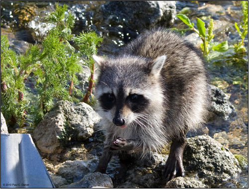 Raccoon, Circle B Bar Reserve