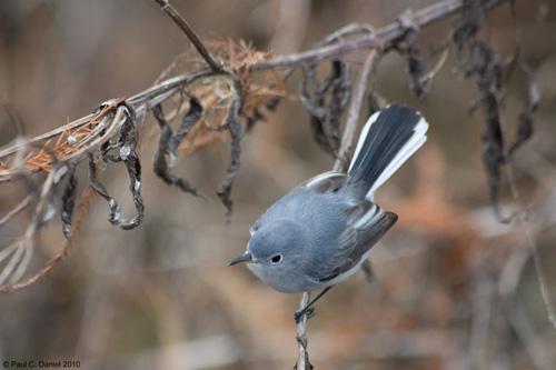 Blue-Gray Gnatcatcher, Circle B Bar Reserve