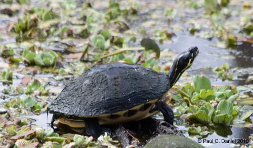 Florida Cooter, Circle B Bar Reserve