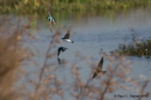 Tree Swallows, Circle B Bar Reserve