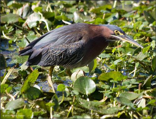 Green Heron, Circle B Bar Reserve