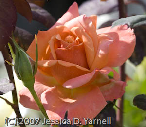 'Tuscan Sun' rose