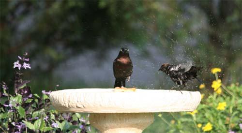Grackle in bird bath