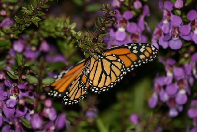 Monarch on angelonia