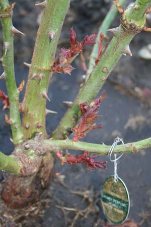 New growth on bareroot roses