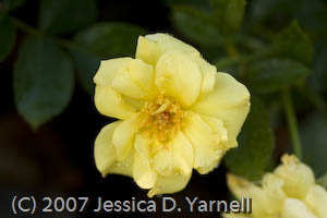 'Sun Flare' rose