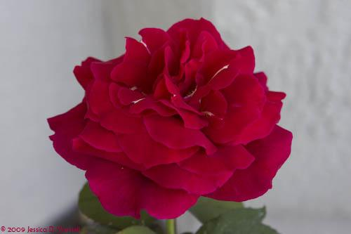 'Mr. Lincoln' rose