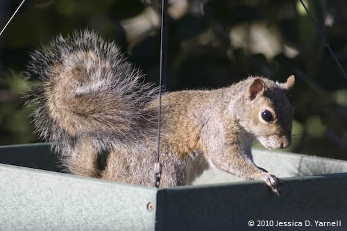 The Squirrel's bushy tail