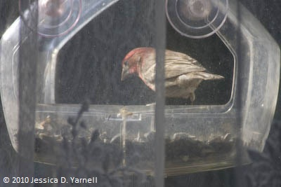 House finch on window feeder