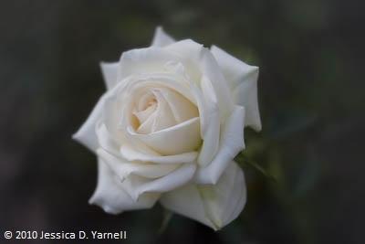 'Irresistible' rose