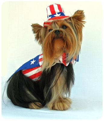 Fourth of July Yorkie