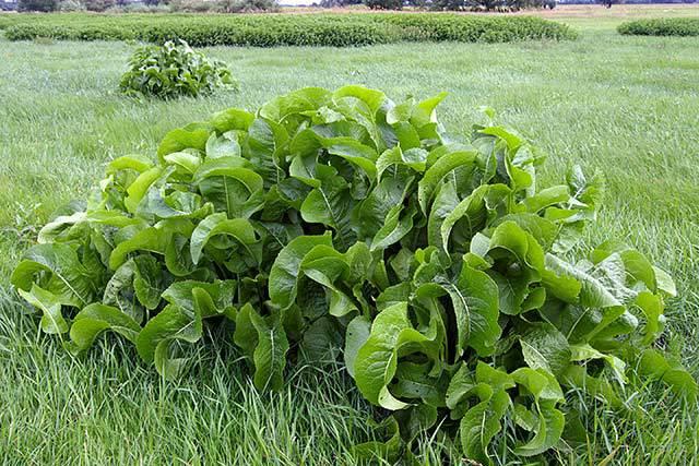Hren – ljuta biljka za dizanje imuniteta