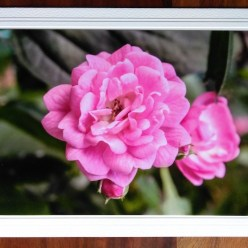 fine art photography pink roses on blank greeting card by doris lovadina-lee toronto