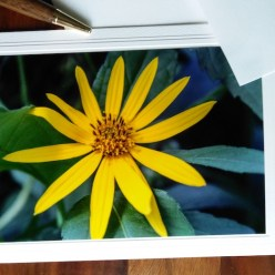 sunroot flower yellow photograph on note card blank by dorislovadinalee.com