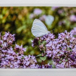 butterfly on purple flowering bush photograph on blank all occassion card