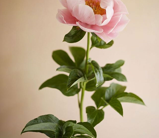 Peony Photograph by Ngoc Minh Ngo | Gather Goods Co