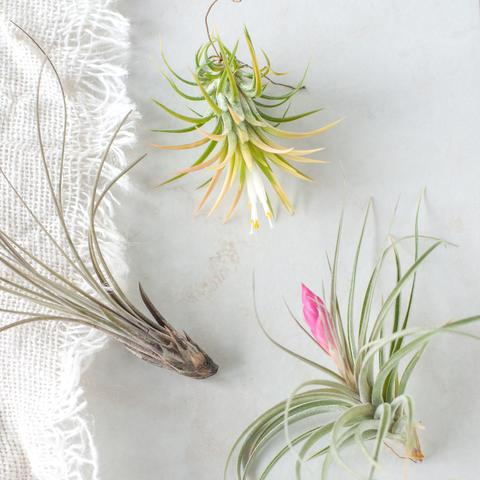 How to Care for Air Plants | Gather Goods Co