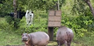 Los hipopótamos de Pablo Escobar, el extraño legado de un narco