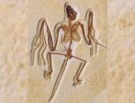 Il fossile di Onychonycteris finneyi, vissuto 52 milioni di anni fa