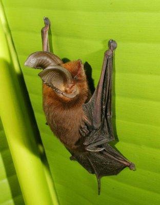 Pipistrello dai piedi a ventosa