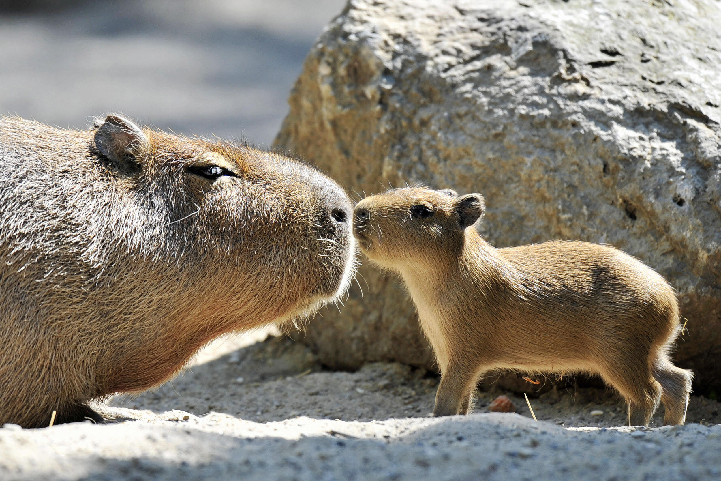 Joejoe The Capybara Has Some Very Unlikely Animal Bffs