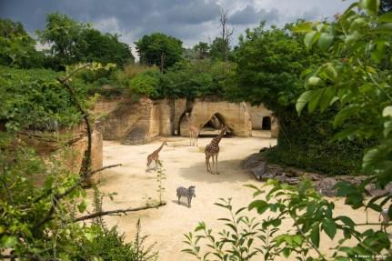 Camp des Girafes Bioparc - L. Joffrion