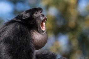 Gibbon siamang Bioparc - P. Chabot