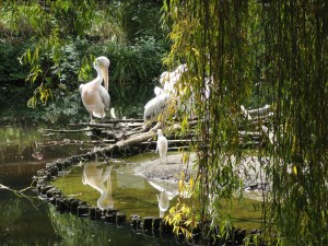 Les celèbres Pelicans fugueurs