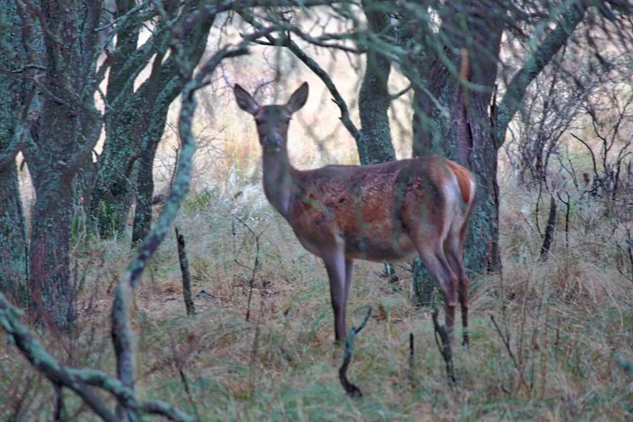 Ciervo Colorado en Parque Luro