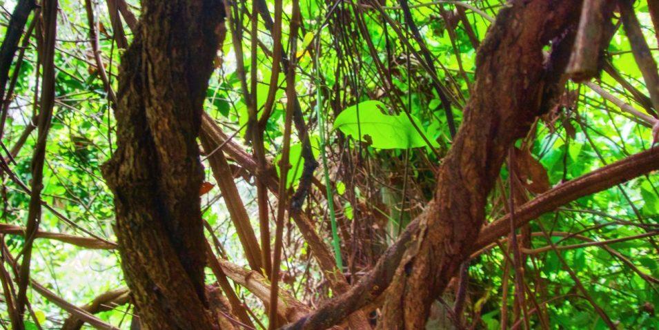 A1 Ayahuasca: Alucinógeno ou Transcendência  Espiritual?