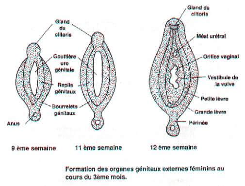 Formation des organes genitaux externes feminins au cours du 3e mois
