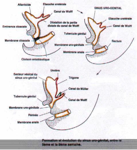 Formation du sinus uro-genital entre 5 et 8 semaines