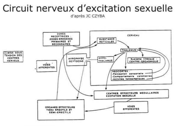 k-circuit nerveux d excitation sexuelle